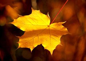 Gold Leaf Image